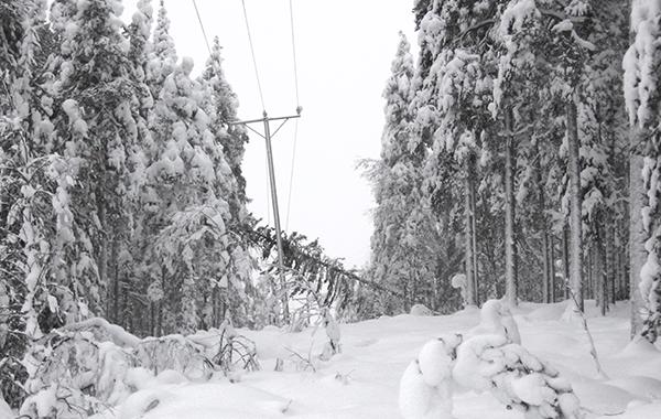 Metsän keskellä kulkevan sähkölinjan päälle on kaatunut lumen painama kuusi.