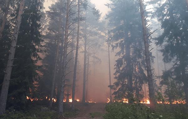 Metsäpalon savut kohoavat kuusikossa.